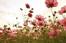 A field of pink flowers